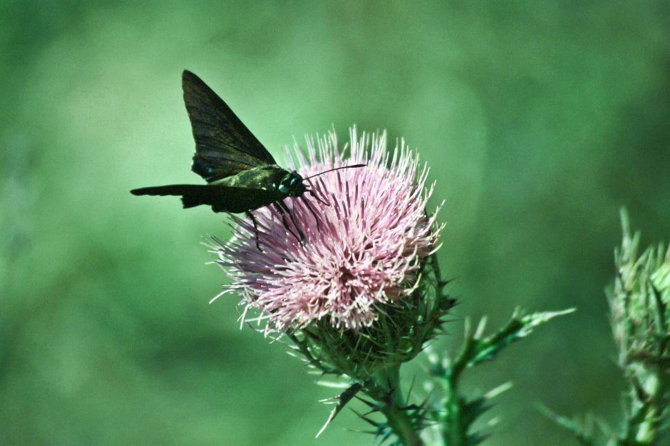 Download Free Stock Photo of Butterfly on Thistle