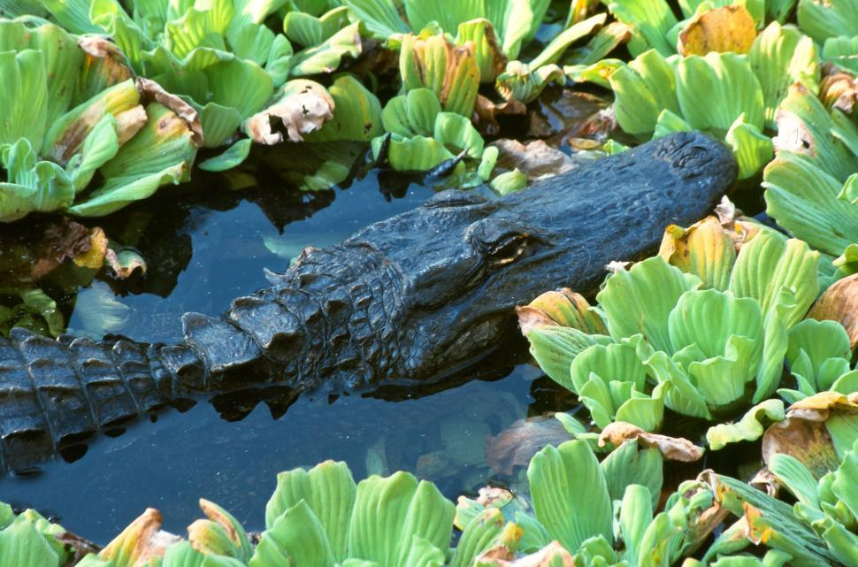 Download Free Stock Photo of Alligator in Corkscrew Swamp