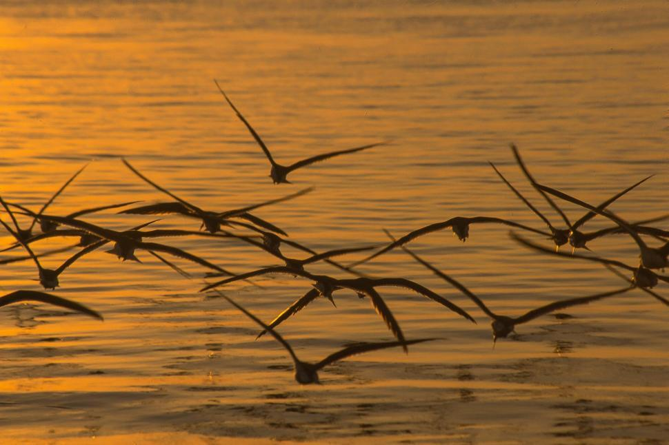 Download Free Stock HD Photo of Skimmers Flying at Sunset Online