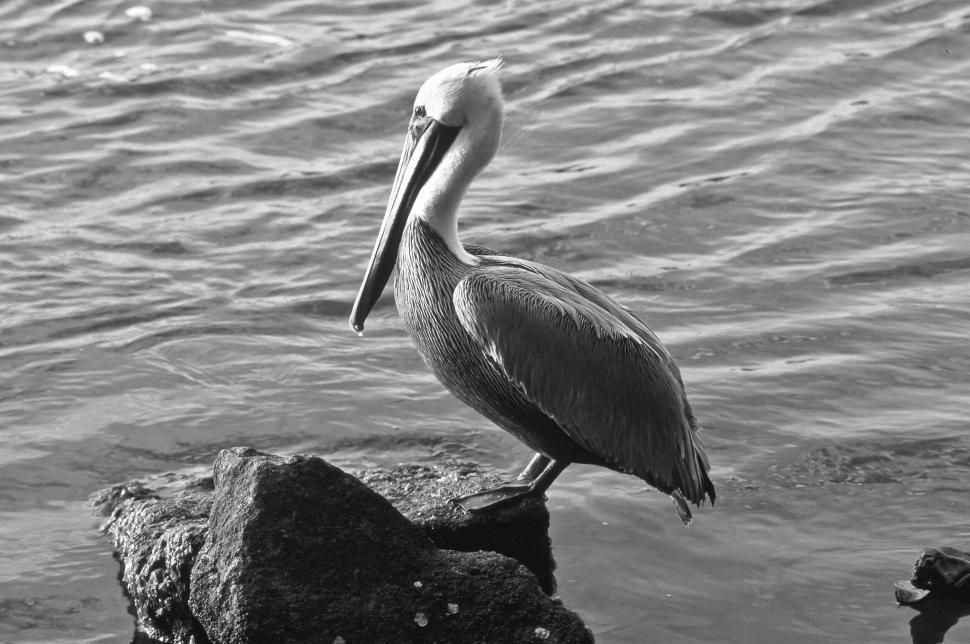 Download Free Stock Photo of Brown Pelican