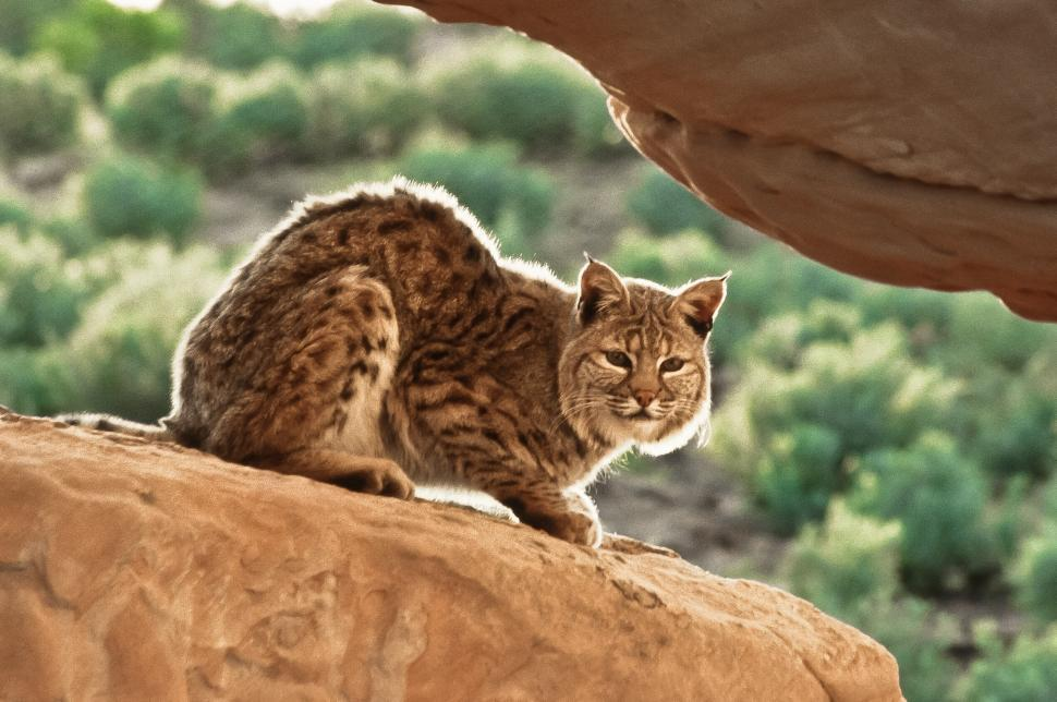 Download Free Stock HD Photo of Bobcat on a Cliff Online