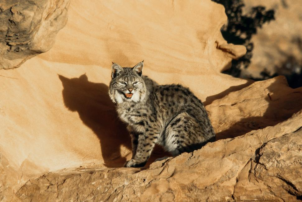 Download Free Stock Photo of Bobcat Stares at the Sun