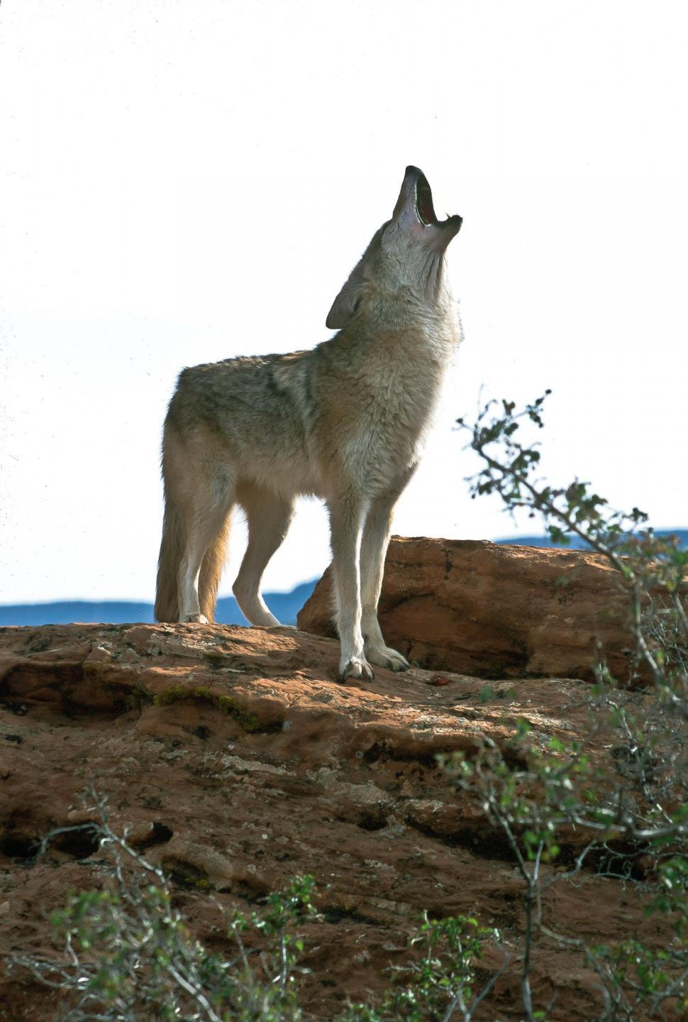 Download Free Stock Photo of Coyote Howling