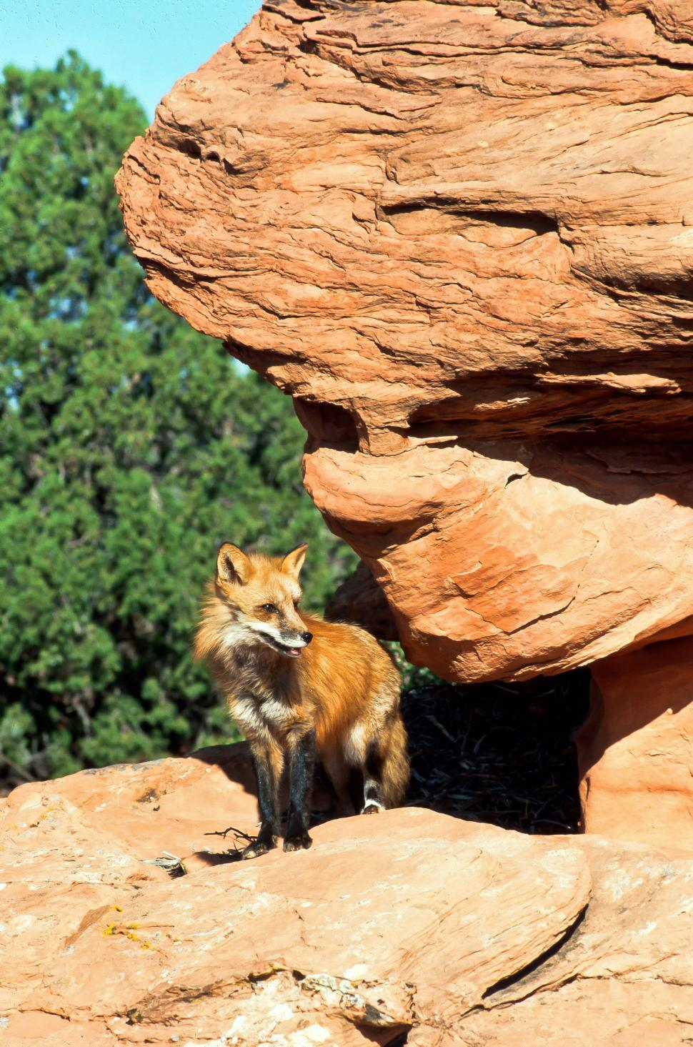 Download Free Stock HD Photo of Red Fox  Online