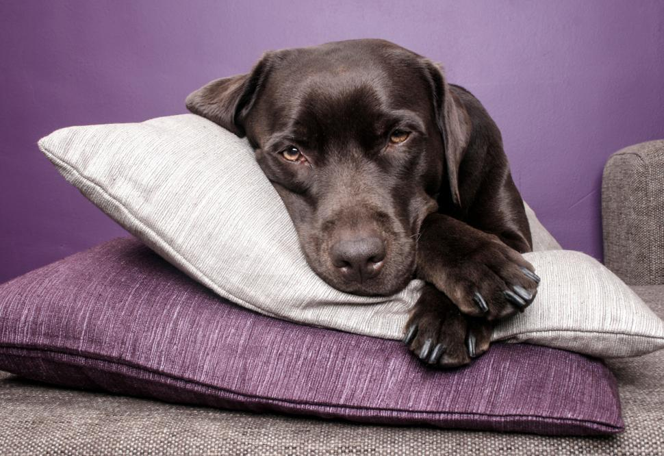 Download Free Stock Photo of Labrador dog lying on pillows