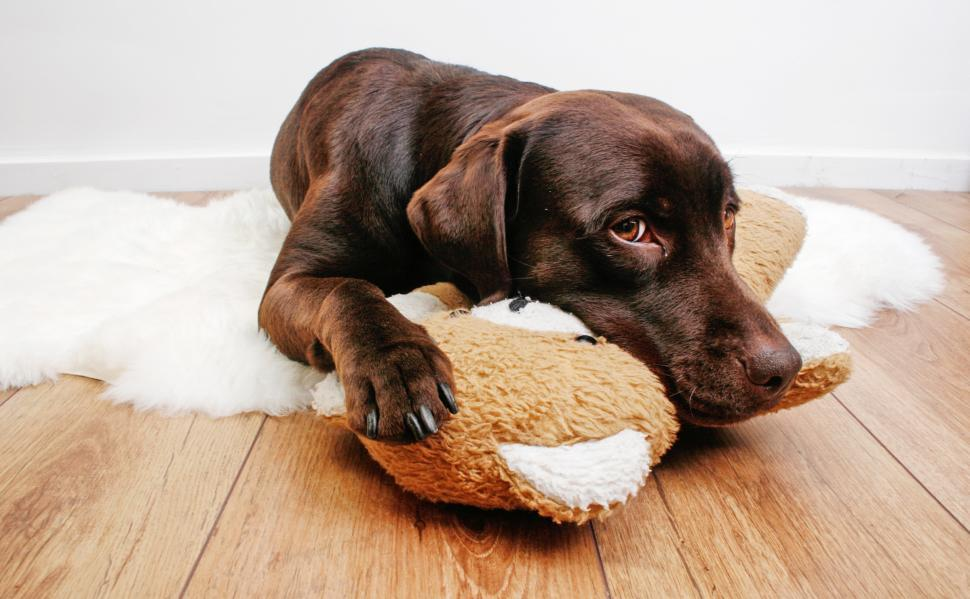 Download Free Stock HD Photo of Labrador dog cuddling with teddy bear Online
