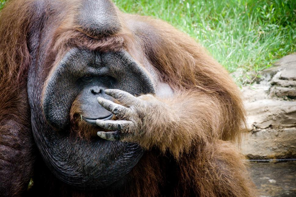 Download Free Stock HD Photo of Orangutan monkey Online