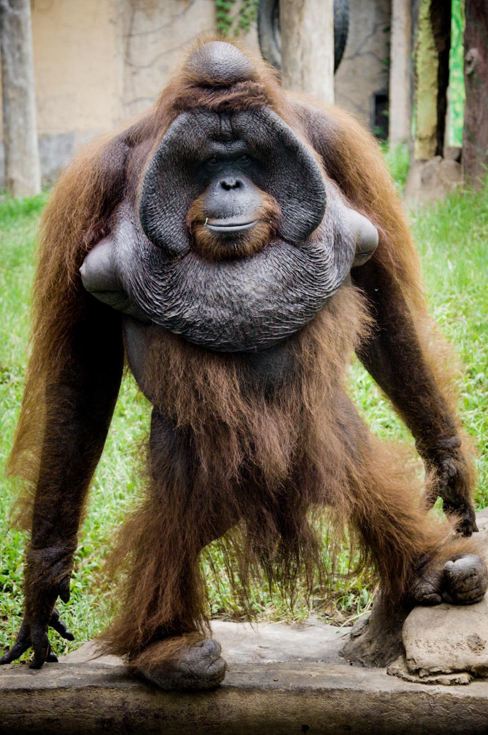 Download Free Stock Photo of Orangutan monkey