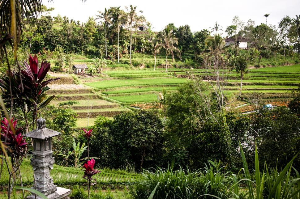 Download Free Stock Photo of Rice Fields in Bali Asia
