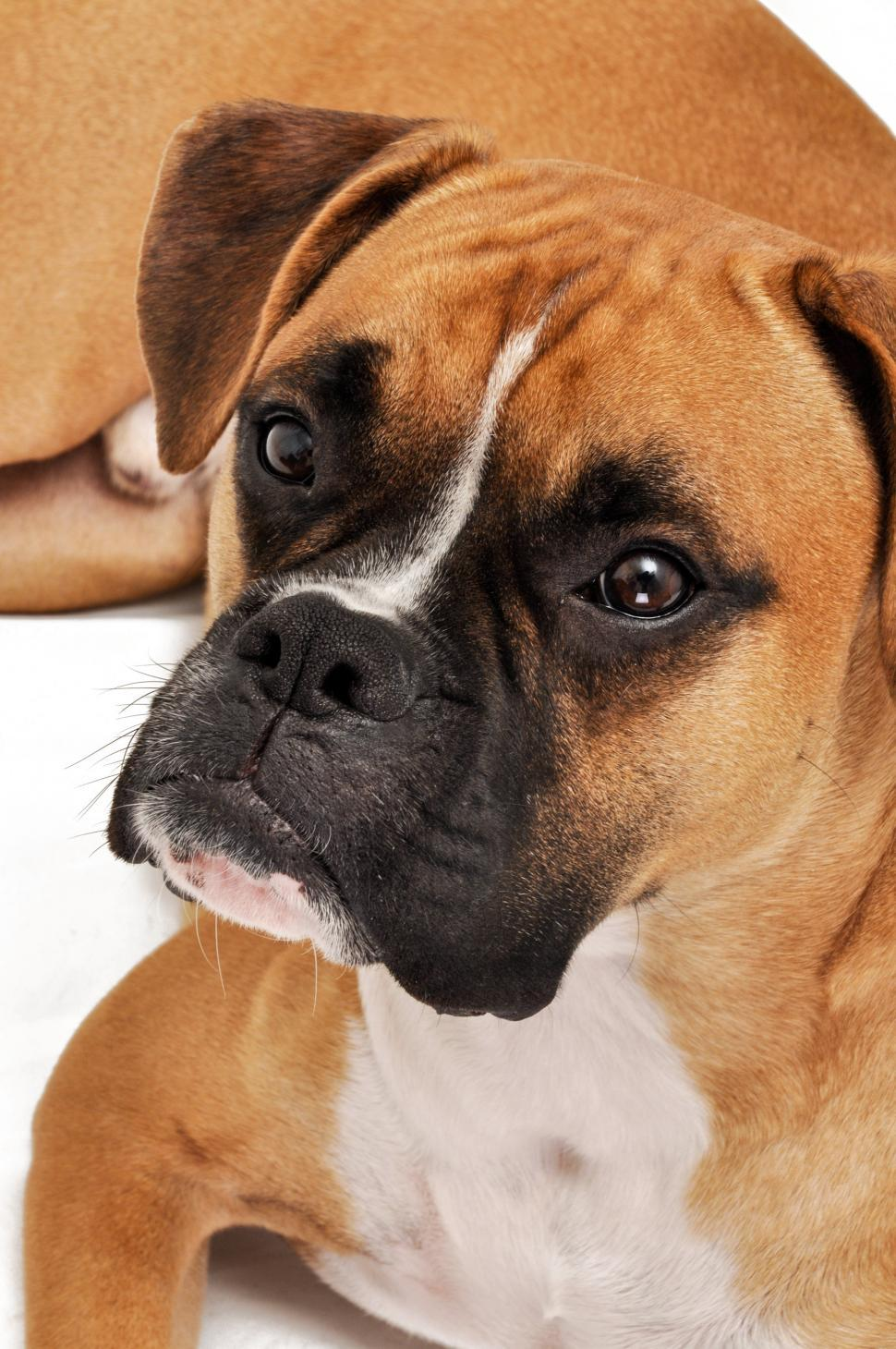 Download Free Stock Photo of boxer dog portrait in studio