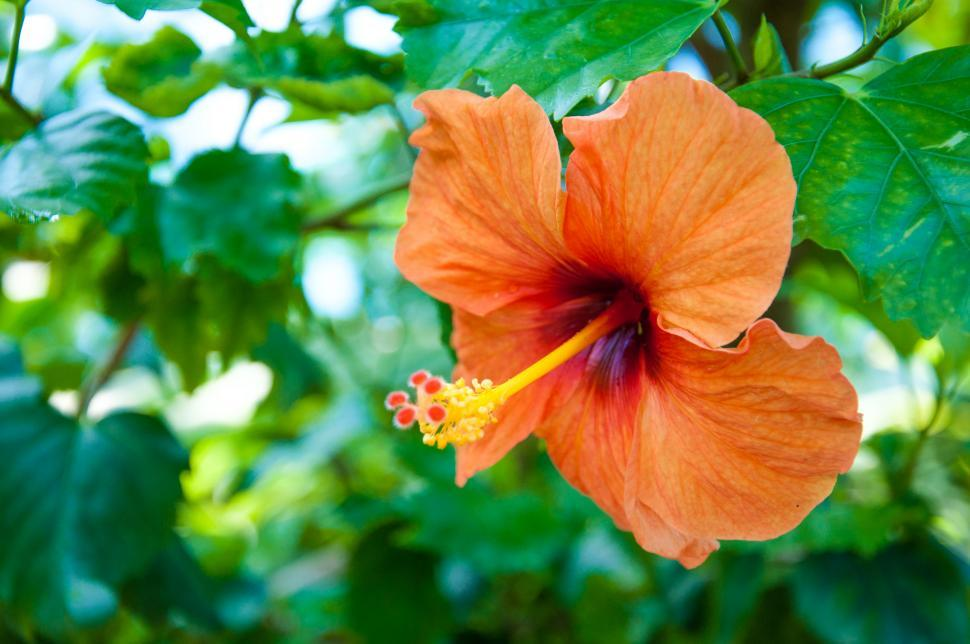 Download Free Stock HD Photo of Orange hibiscus tropical flower Online
