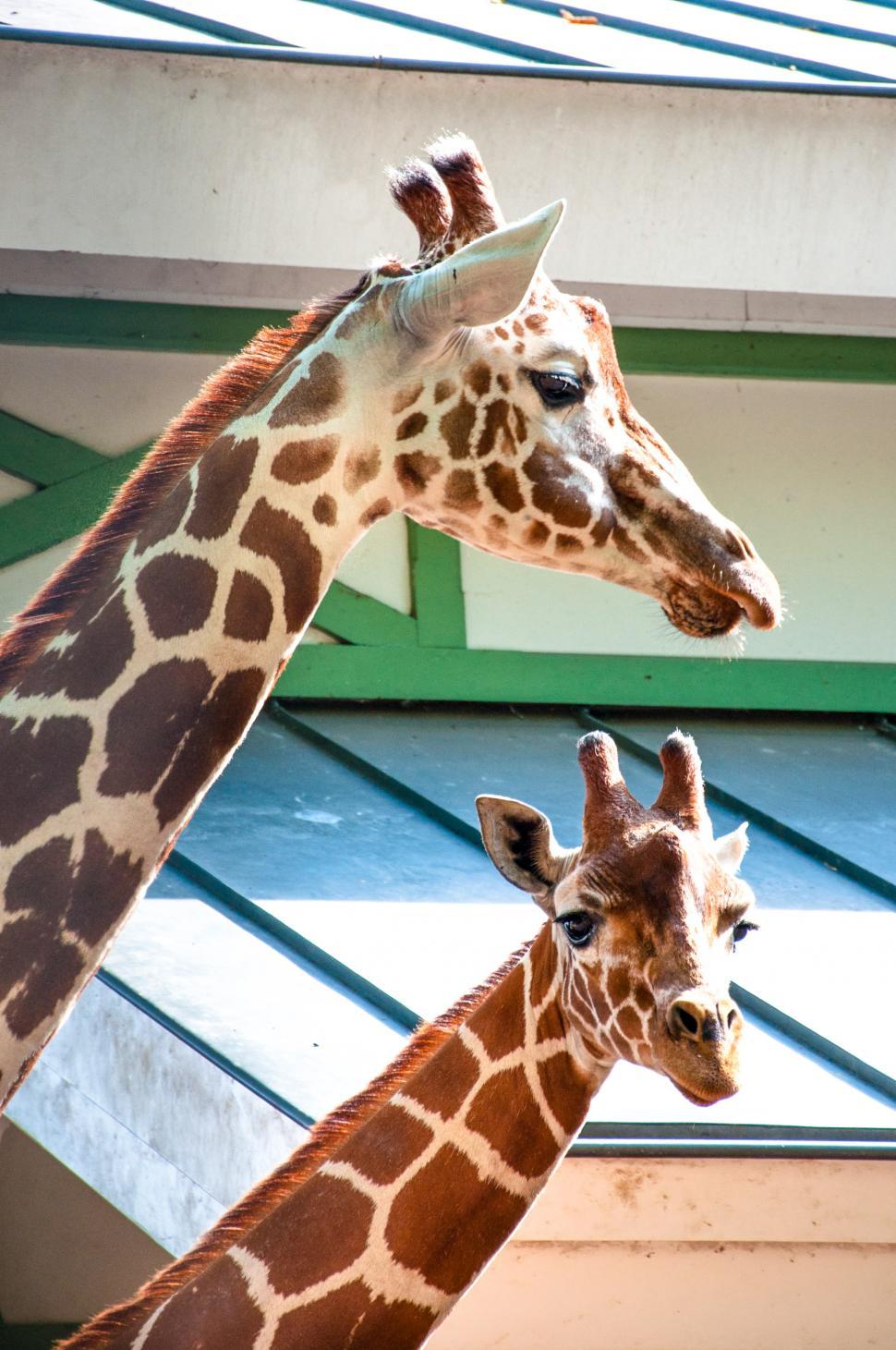 Download Free Stock Photo of Giraffes in the zoo