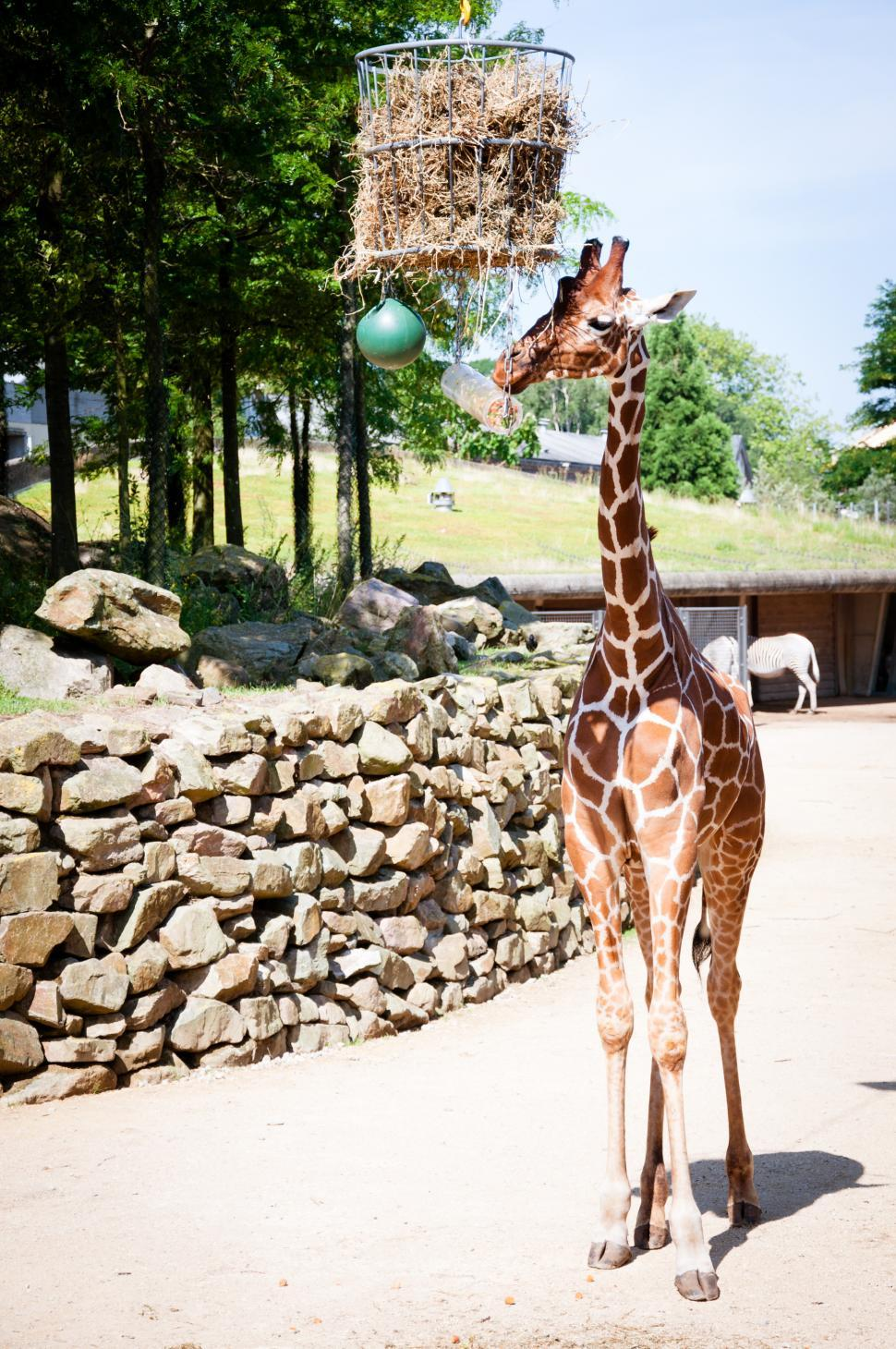 Download Free Stock Photo of Giraffe in the zoo