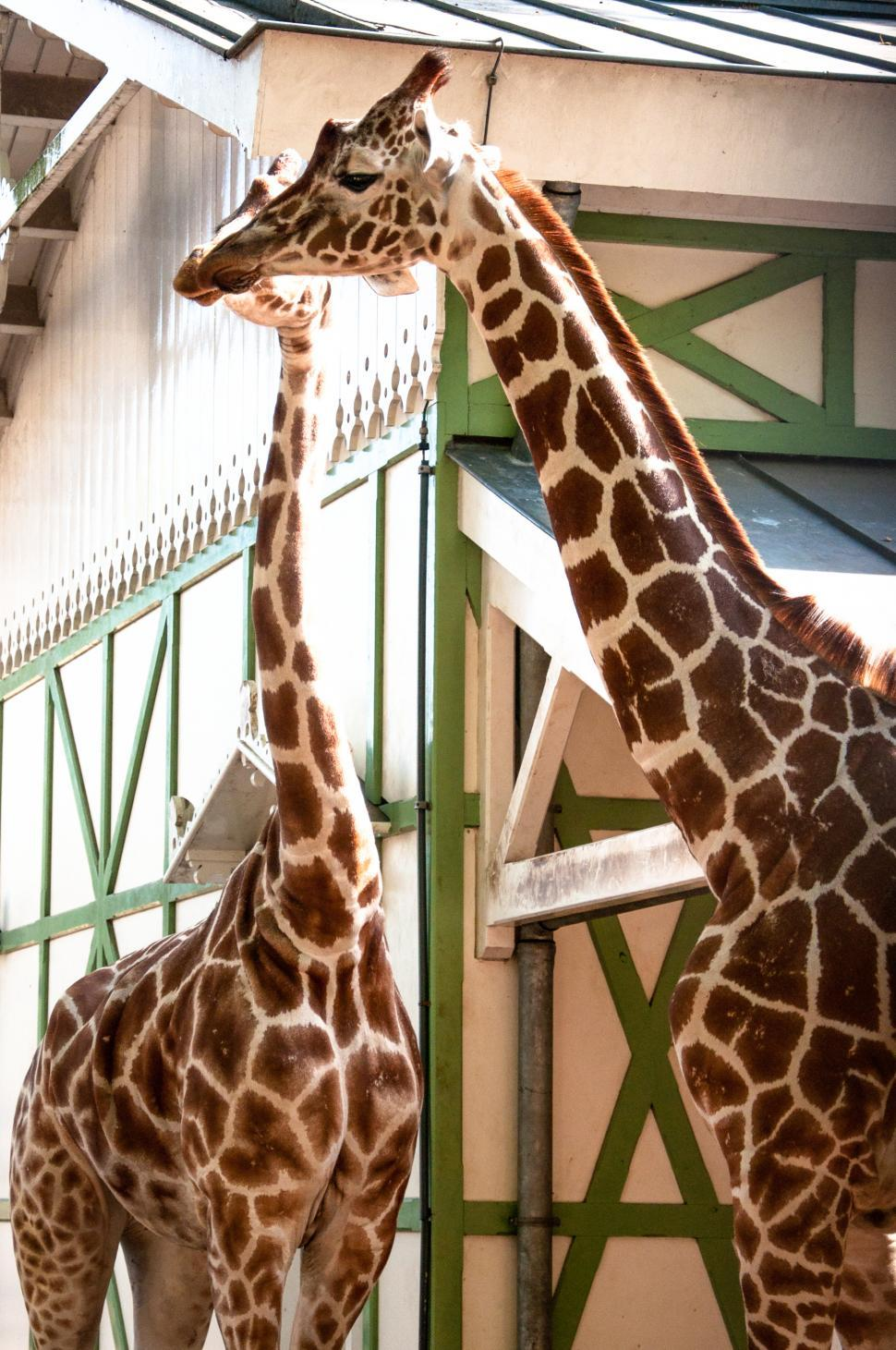 Download Free Stock HD Photo of Giraffe in the zoo Online