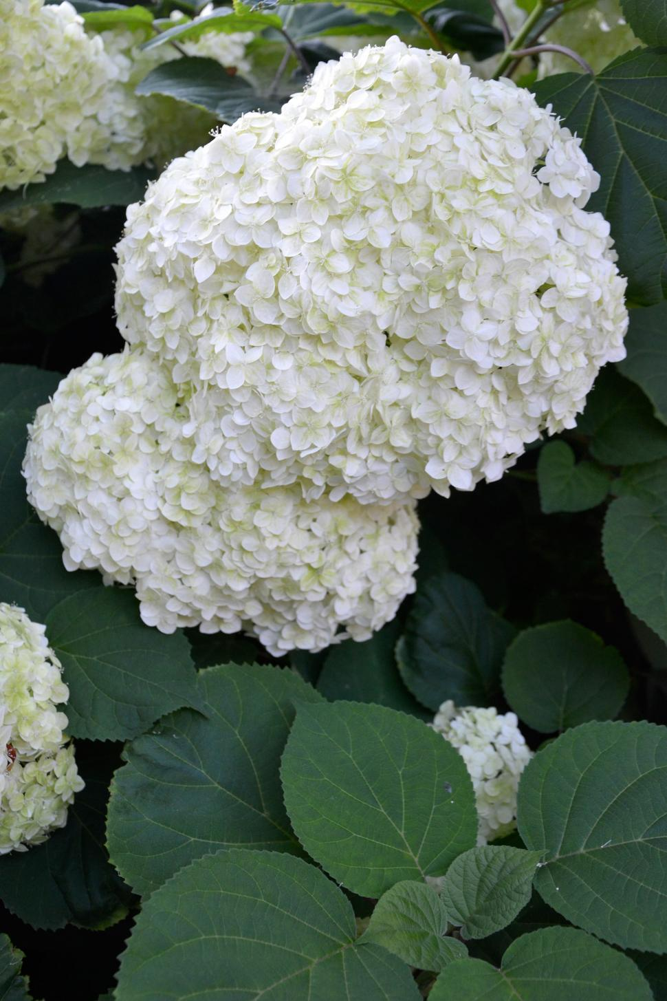 Download Free Stock Photo of Inflorescence of smooth hydrangea