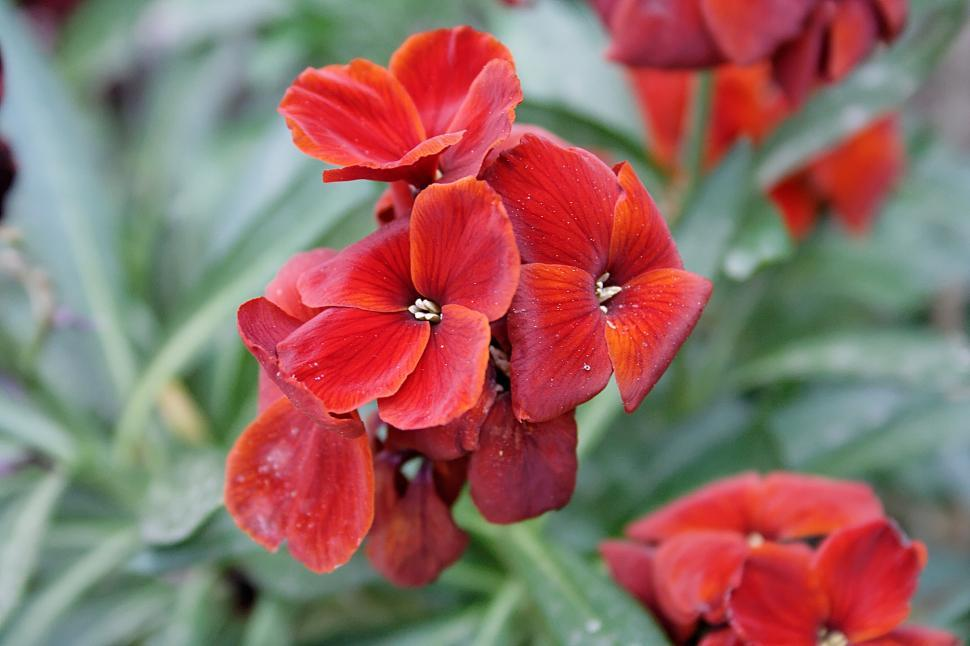 Download Free Stock HD Photo of Red flowers Online