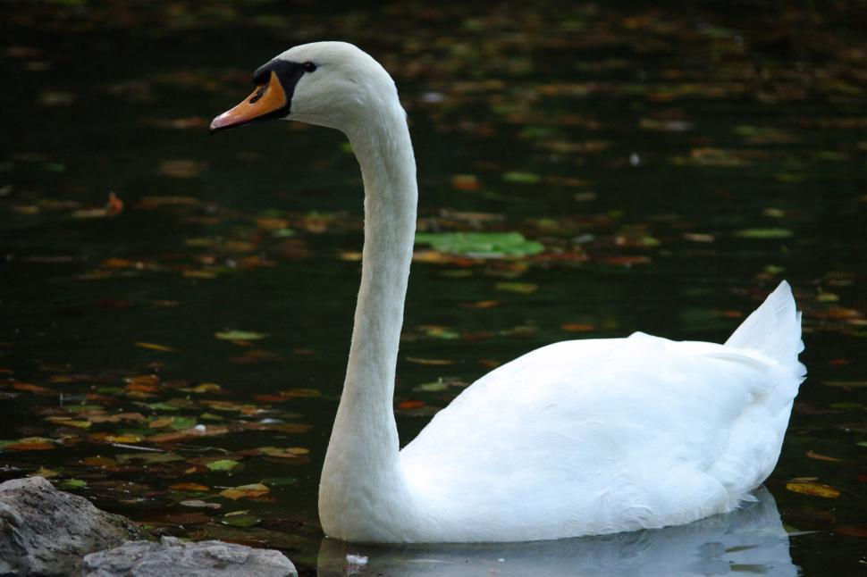 Download Free Stock HD Photo of Mute swan Online