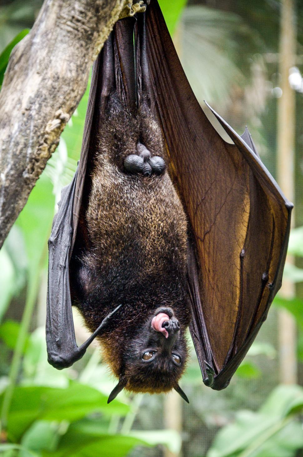 Download Free Stock Photo of Bat hanging on a tree branch