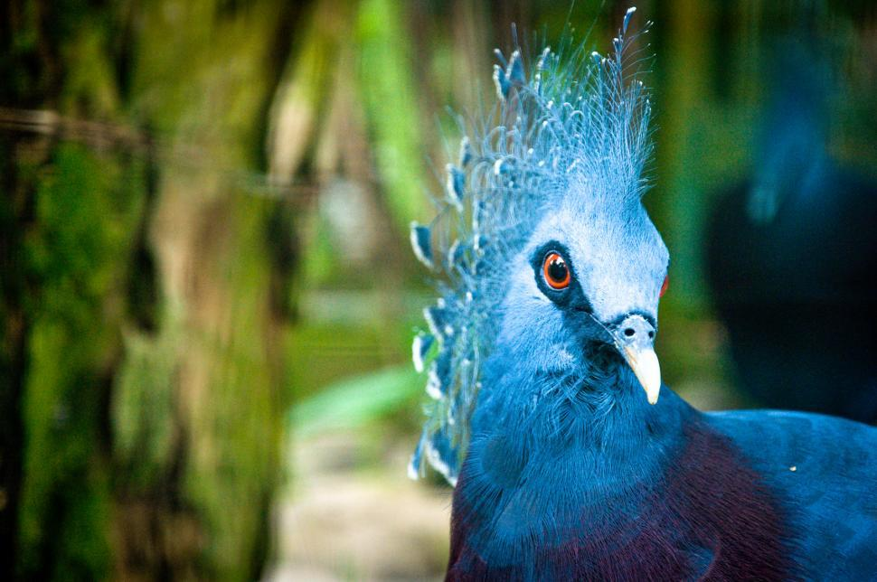 Download Free Stock HD Photo of Blue peacock Online