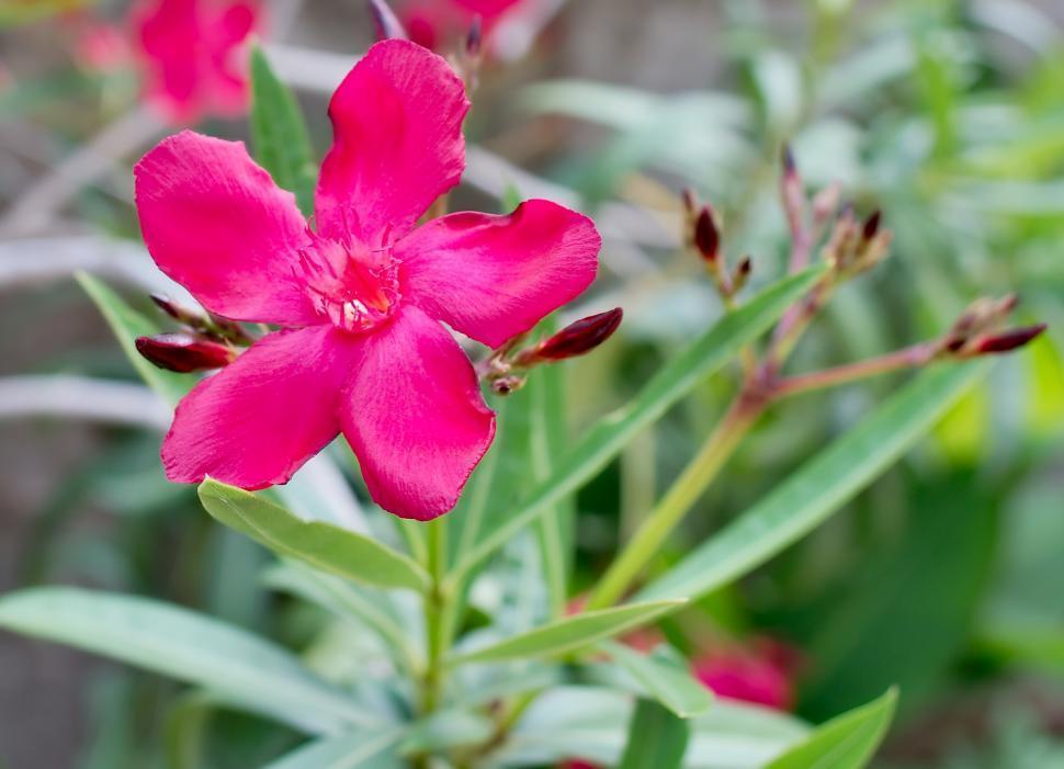 Download Free Stock Photo of Oleander flower
