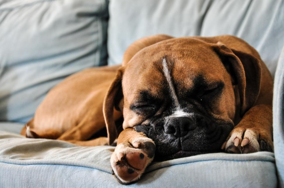 Download Free Stock Photo of Boxer dog sleeping