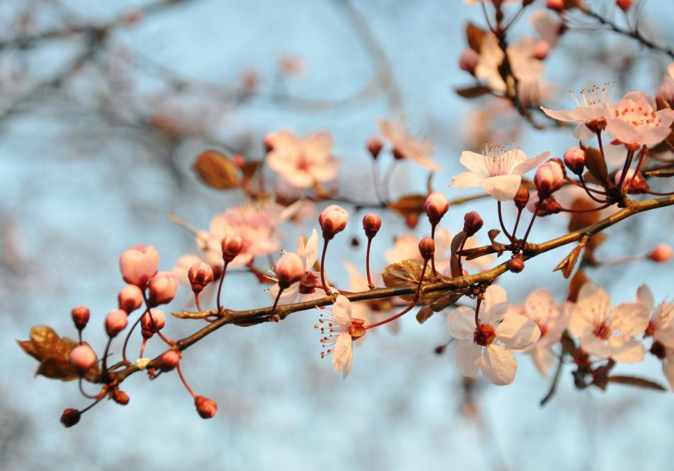 Download Free Stock HD Photo of Cherry blossom Online