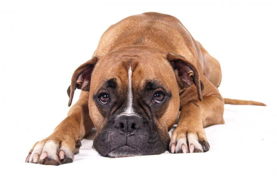 Download Free Stock Photo of boxer dog lying down