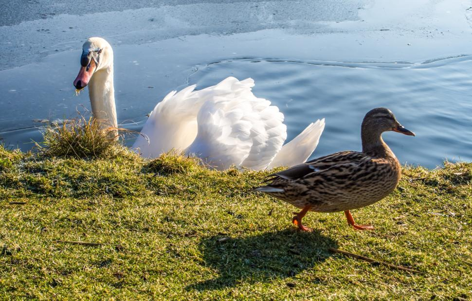 Download Free Stock HD Photo of white swan and duck Online