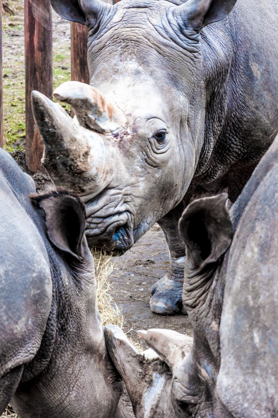 Download Free Stock Photo of Rhinoceros in a zoo
