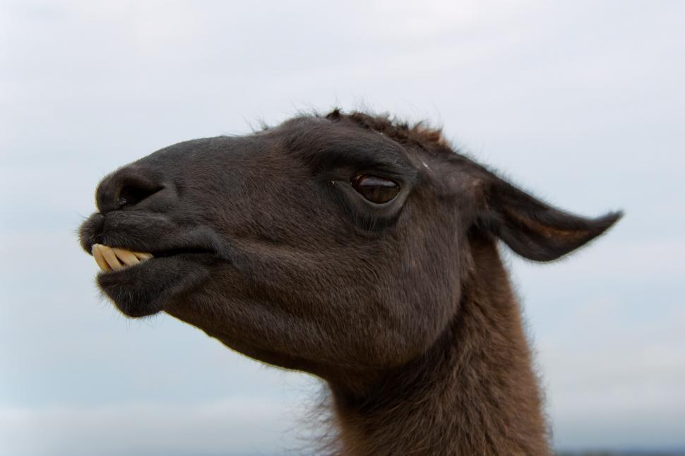 Download Free Stock HD Photo of Alpaca portrait Online