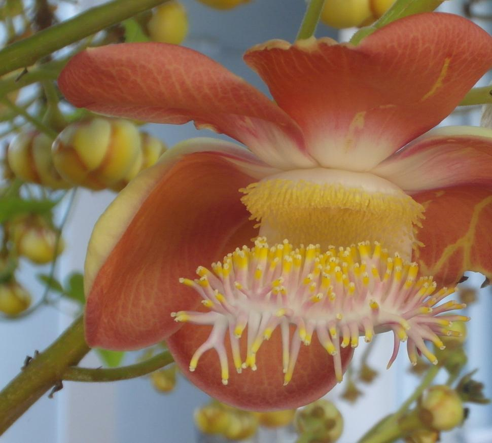 Download Free Stock Photo of Cannon ball tree flower