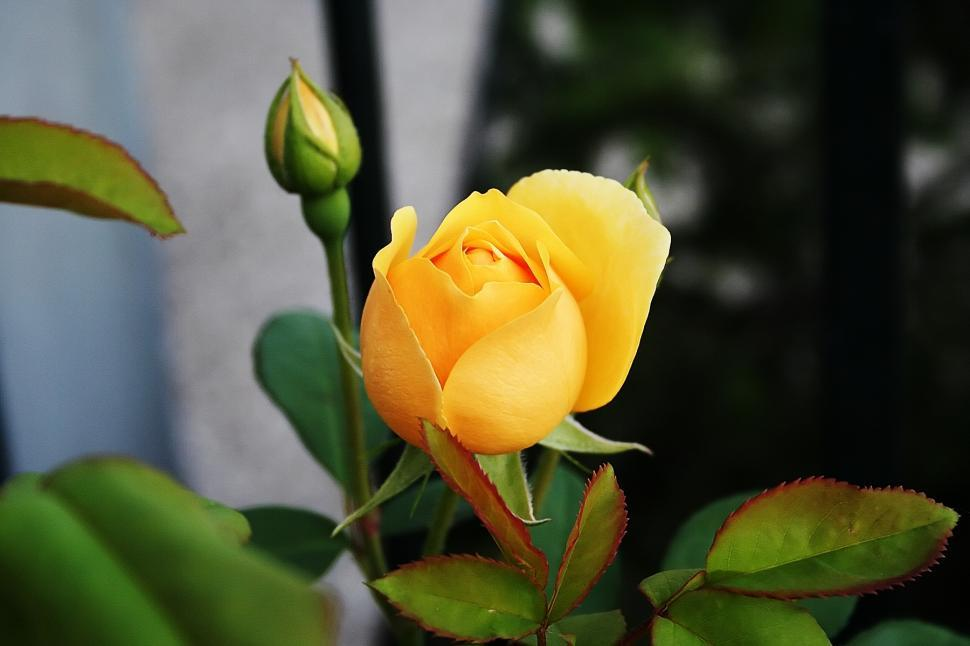 Download Free Stock Photo of Yellow rose