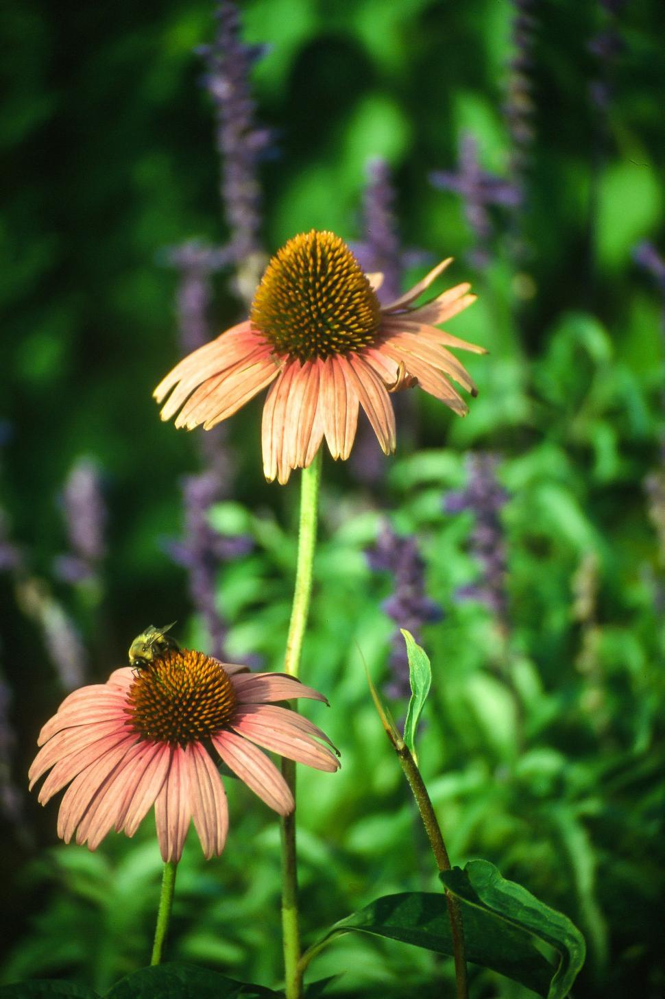 Download Free Stock Photo of Coneflower