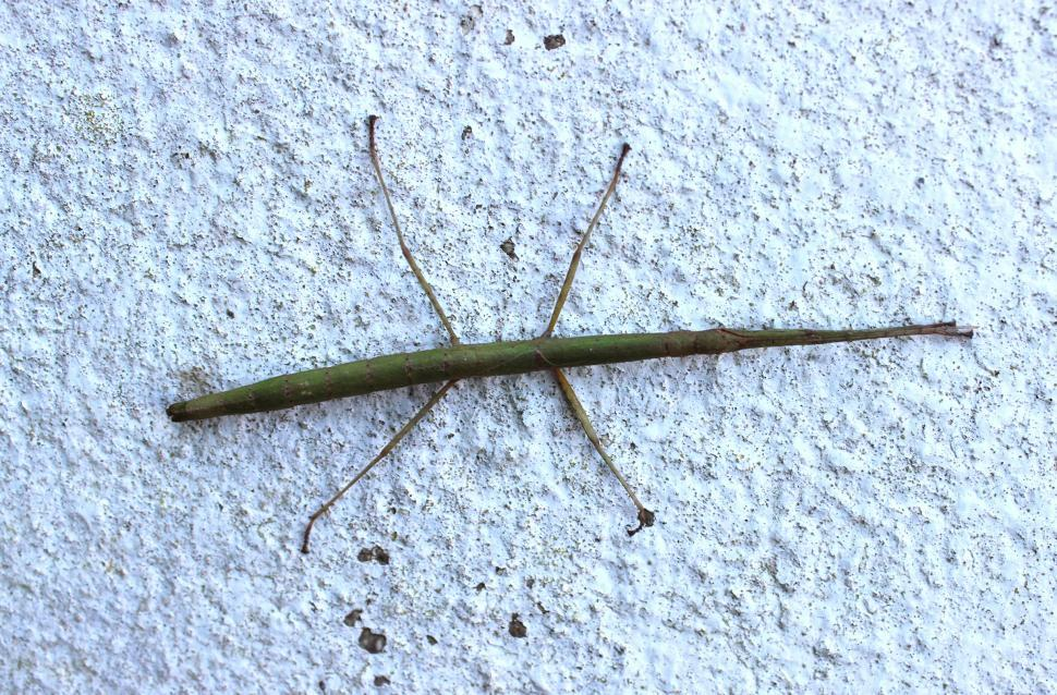 Download Free Stock HD Photo of Walking Stick Insect Online