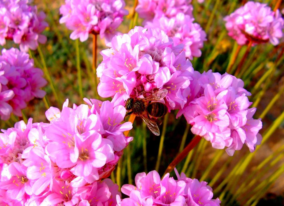 Download Free Stock Photo of Honeybee pollinating Spiny Thrift (Armeria pungens) flowers