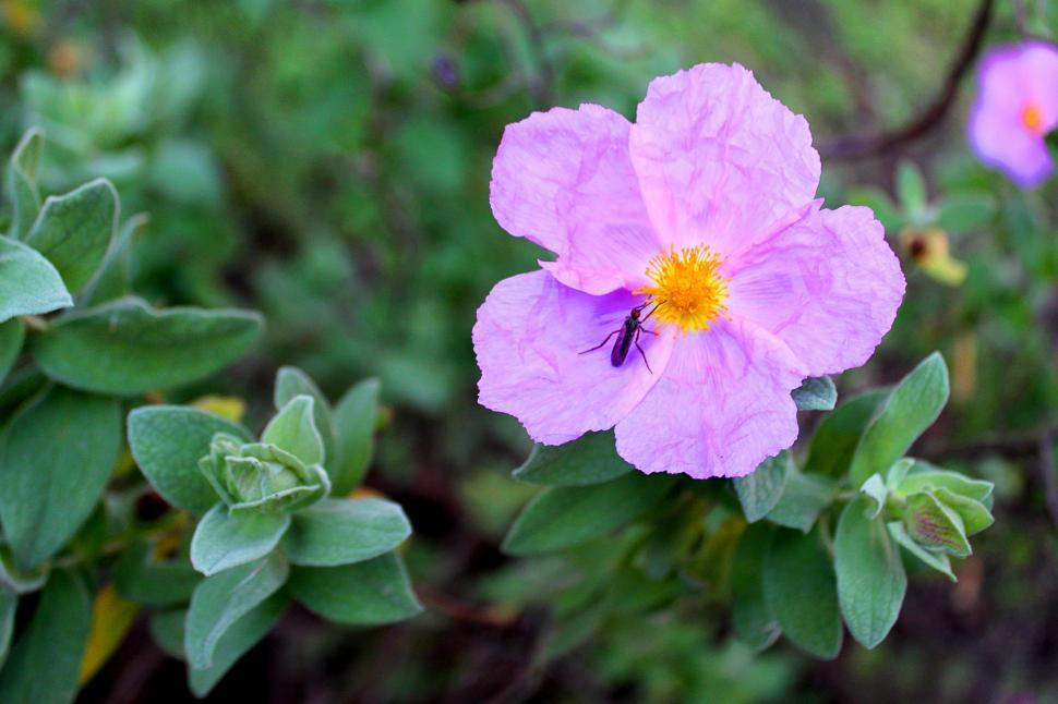 Download Free Stock Photo of Bug pollinating a rockrose flower