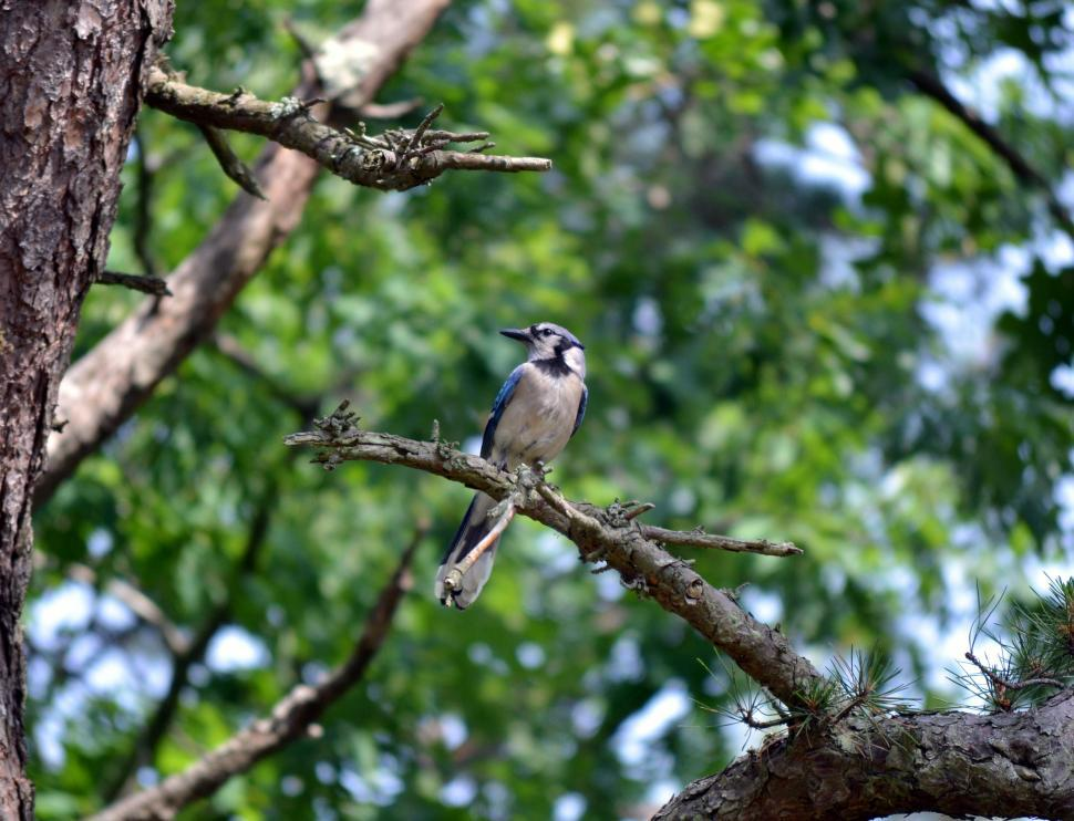 Download Free Stock Photo of Blue Jay Bird