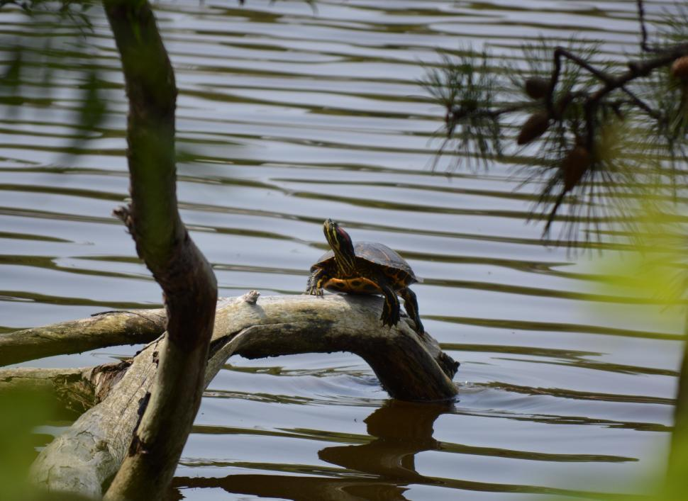 Download Free Stock Photo of Turtle