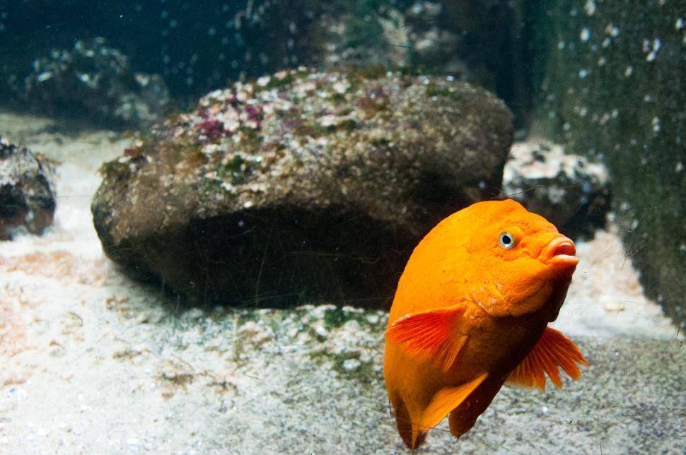 Download Free Stock Photo of bright orange fish