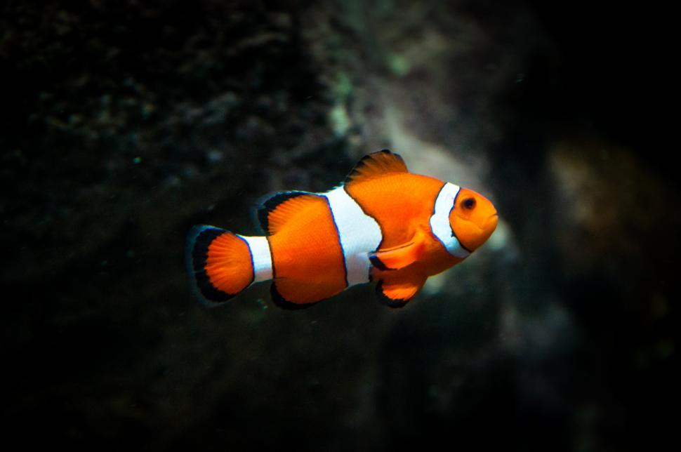 Download Free Stock HD Photo of clownfish fish Online