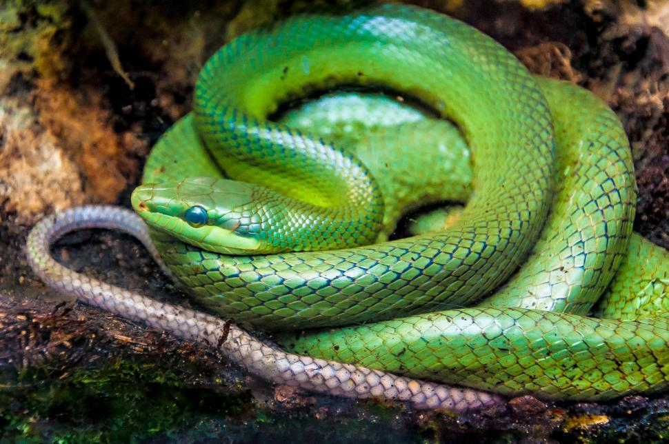 Download Free Stock Photo of snake (green pit viper) in forest