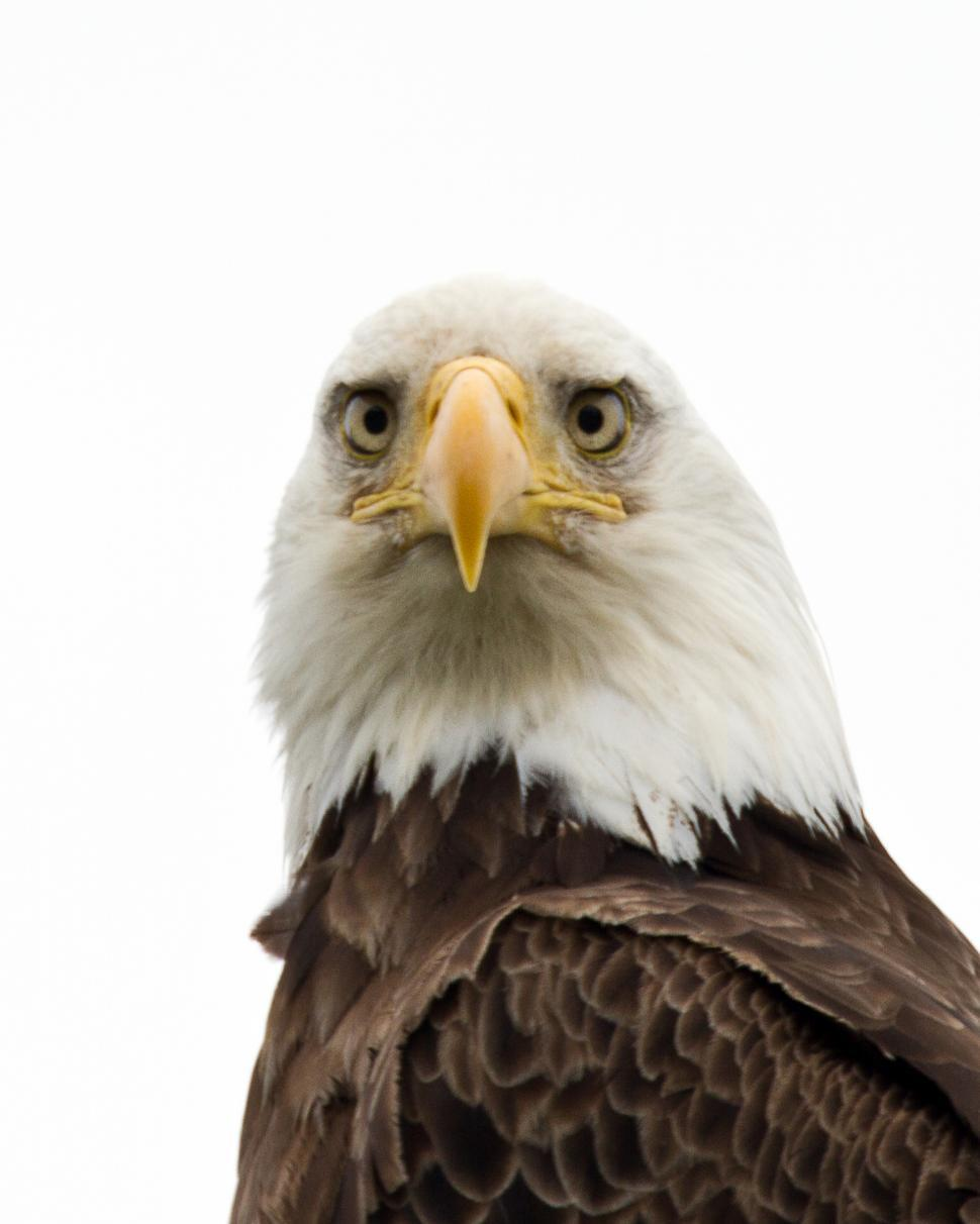Download Free Stock Photo of Bald Eagle face