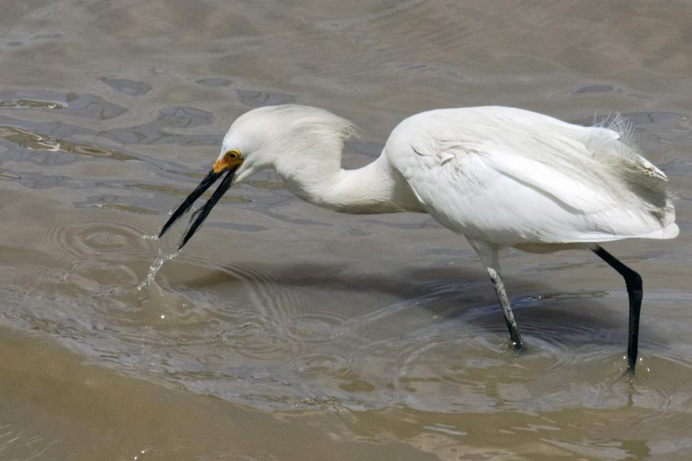 Download Free Stock Photo of Snowy Egret