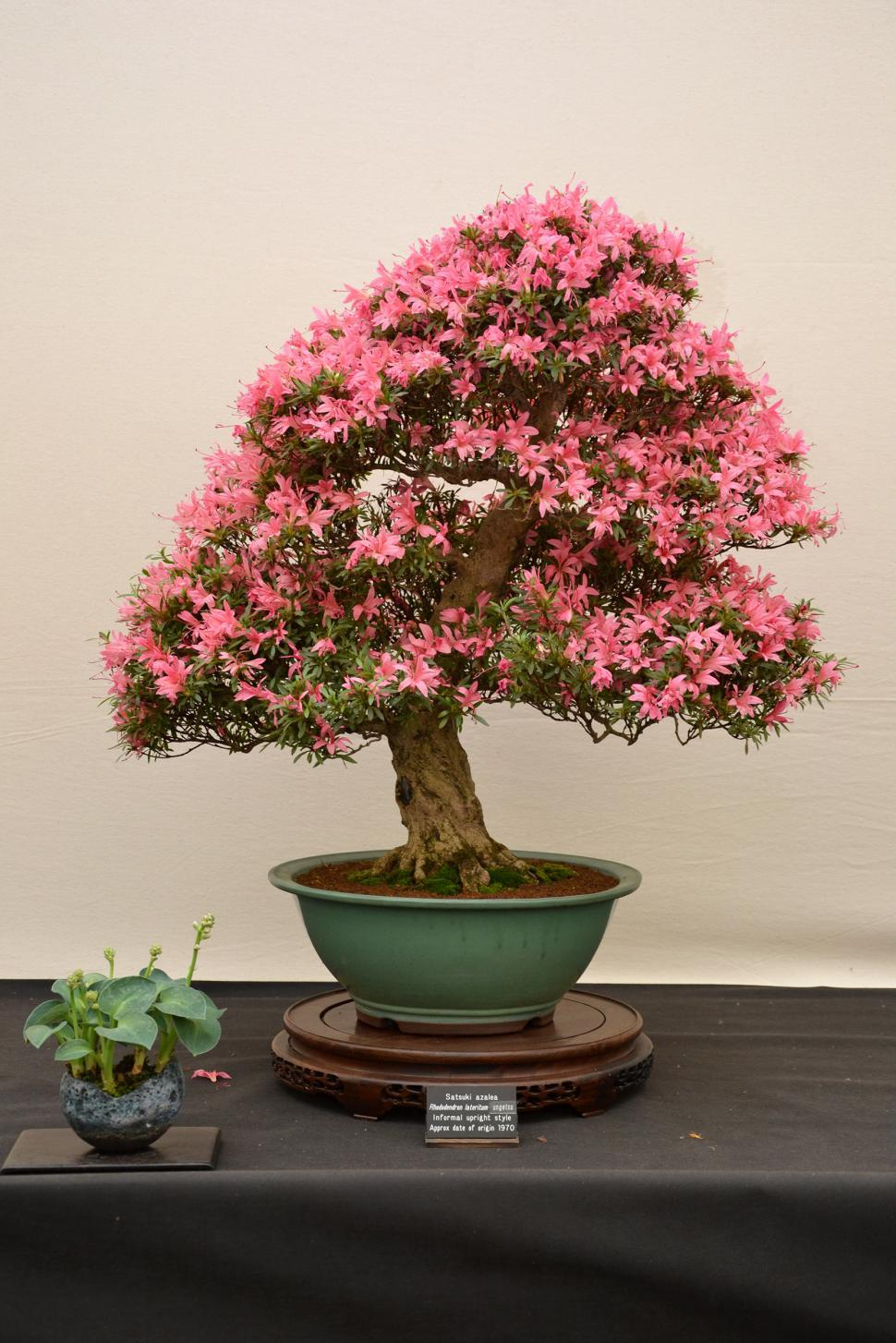 Download Free Stock Photo of Satsuki azalea bonsai
