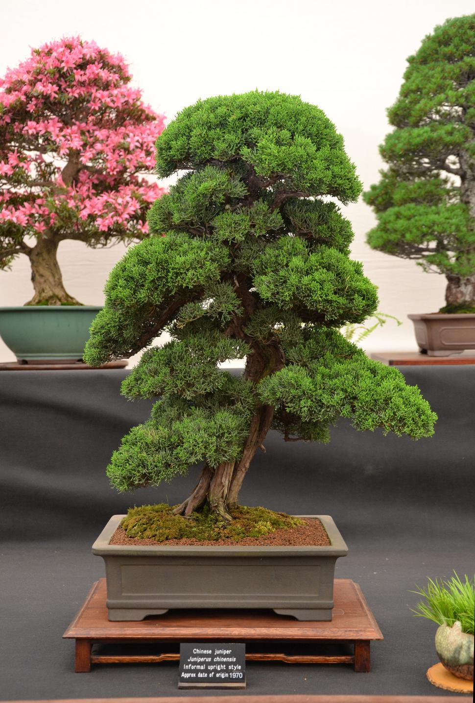 Download Free Stock Photo of Chinese juniper bonsai