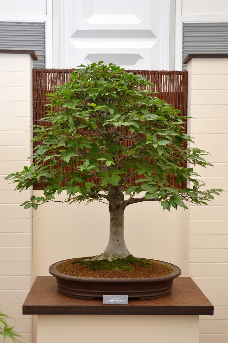 Download Free Stock Photo of Japanese white beech bonsai