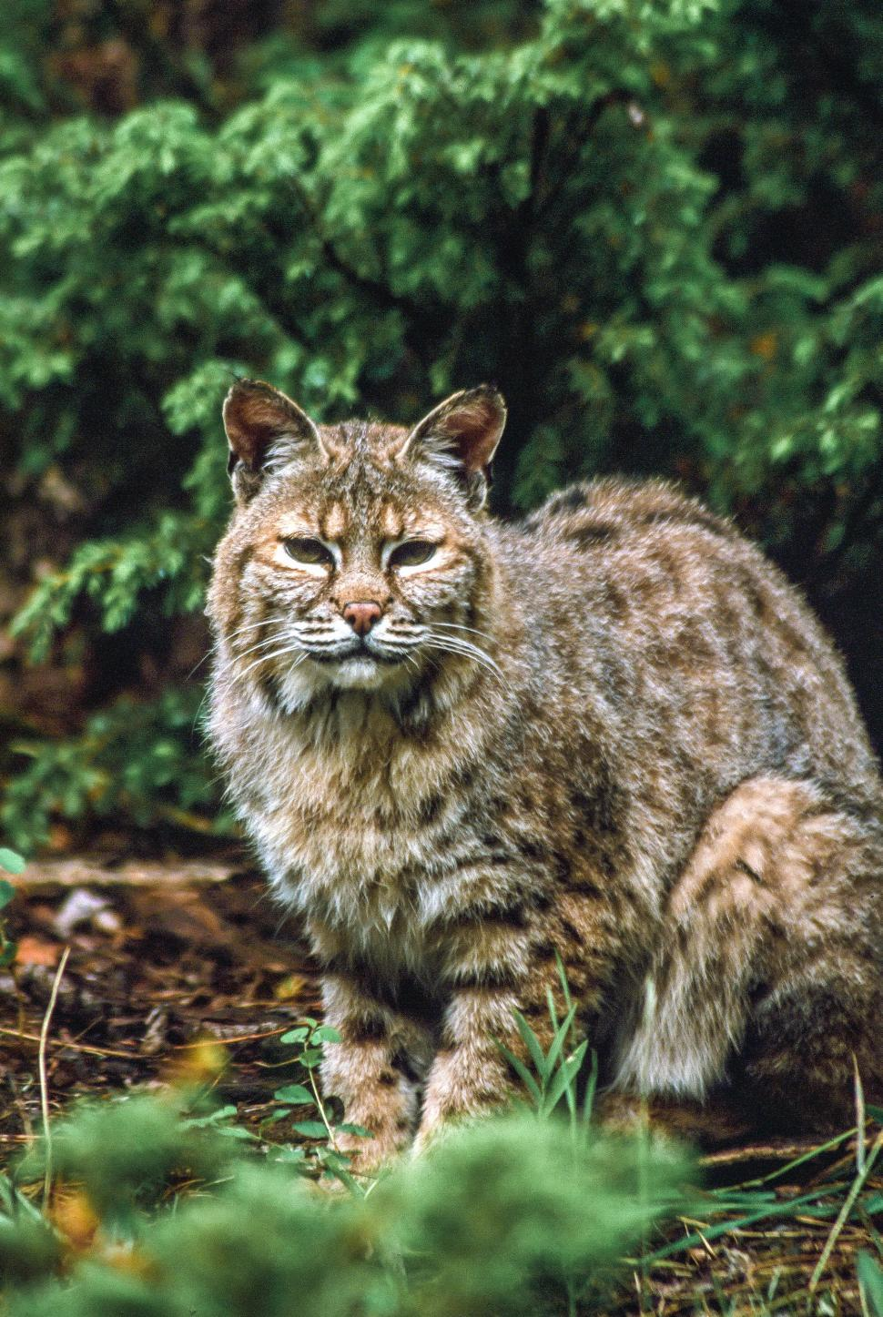 Download Free Stock HD Photo of Bobcat Online