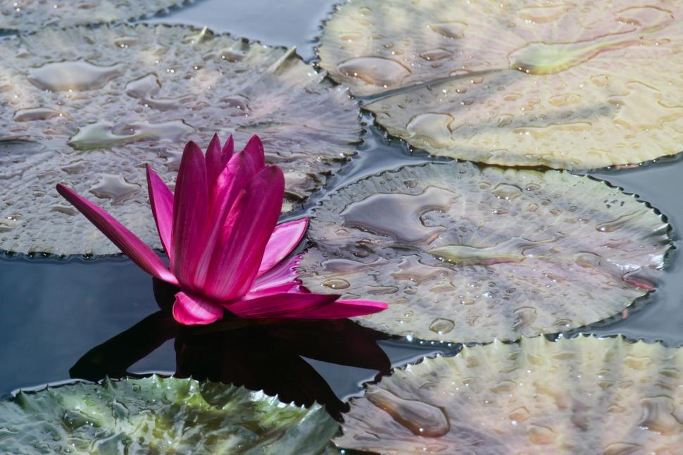 Download Free Stock Photo of Water lilly