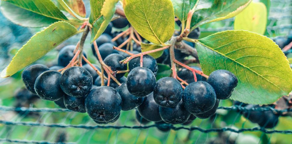 Download Free Stock HD Photo of Aronia berries  Online