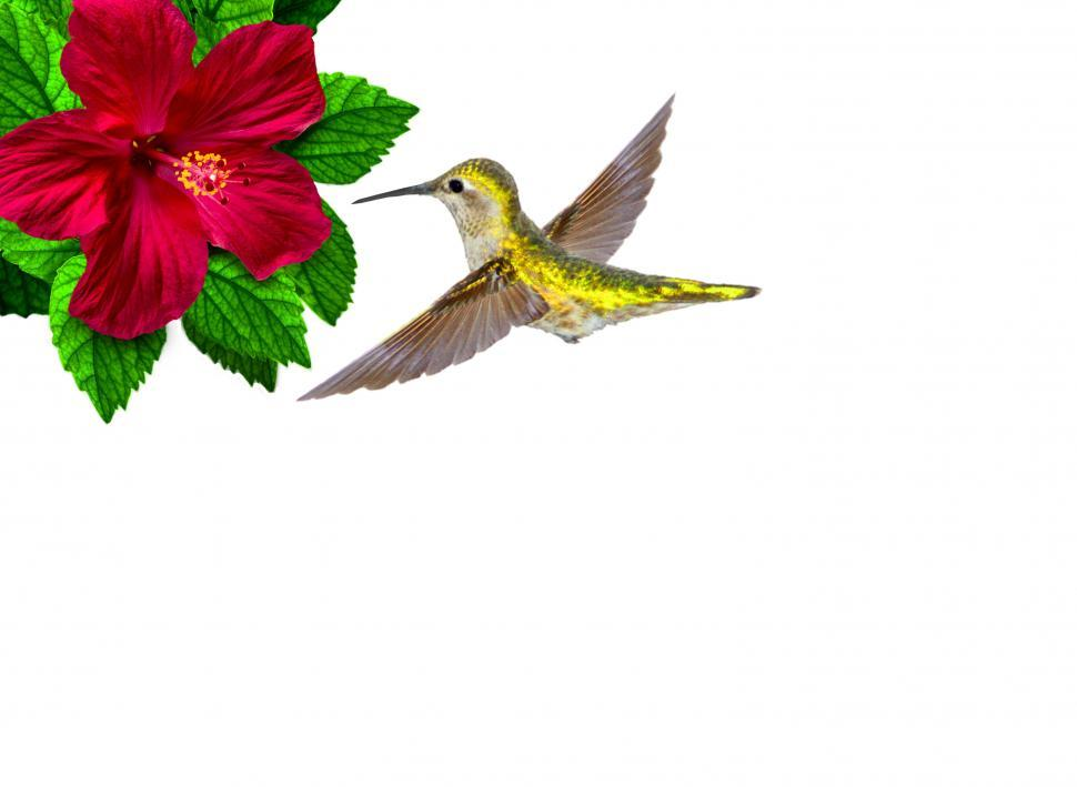 Download Free Stock Photo of  Ruby-throated hummingbird hovering over bloomed hibiscus